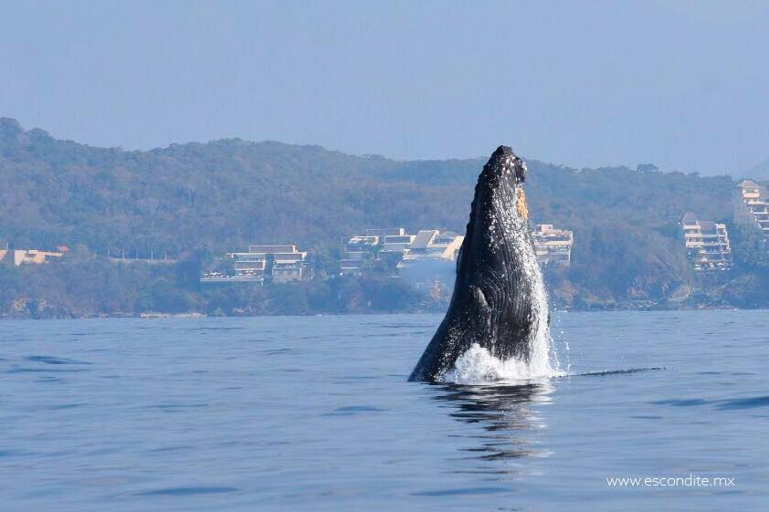 Se estudia proyecto para concretar programa de avistamiento de ballenas en Zihuatanejo